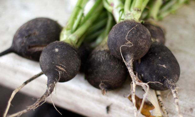 Le radis noir : le légume anti-carence