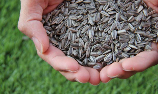 Envie de grignoter ? Mangez des graines de tournesol