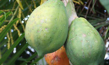 Mangez de la papaye: elle brûle la graisse