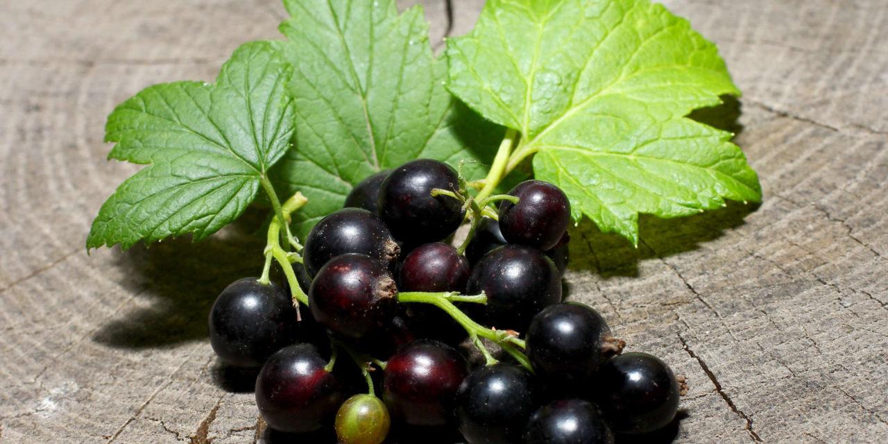 Le cassis : le nouveau fruit healthy à la mode